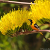 An adult breeding male Hooded Oriole on a Century Plant