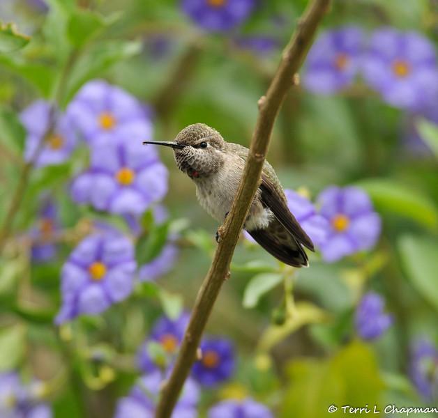 An Anna's Hummingbird perched in a Blue potato bush