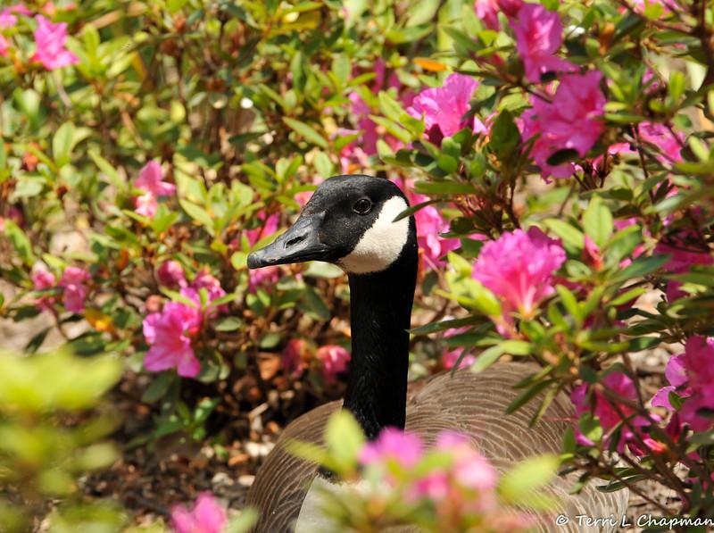 A Canada Goose resting amongst Azalea plants
