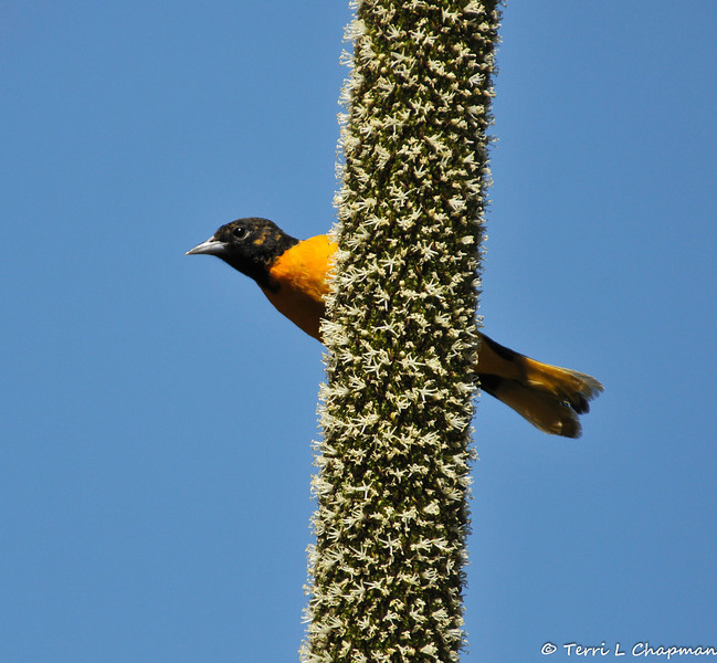 "A male Baltimore Oriole sipping nectar from a Grass Tree, which is native to Southern Australia. This bird was photographed in Arcadia, CA, so it is considered a ""rare"" bird for the LA County area since this bird is not native to the area and does not normally migrate to LA. Baltimore Orioles are a bird of eastern North America and most birds winter in Mexico, Colombia and Venezuela."