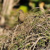 A female House Finch collecting nesting material from a mound of Gray honey-myrtle (a plant native to west Australia)
