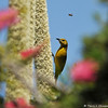 A female Hooded Oriole eating nectar from a Grass Tree, which is native to Southern Australia
