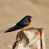 A Barn Swallow sitting on the door hinge of a storm drain in the LA River