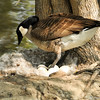A Canada Goose with her 7 eggs