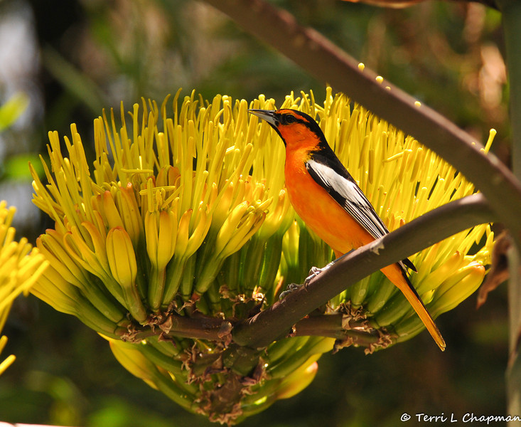 A male Bullock's Oriole on a Century Plant