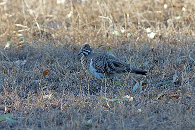 Squatter Pigeon - Northern Subspecies