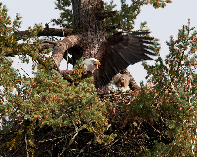 Squirrel launching in Eagle's nest