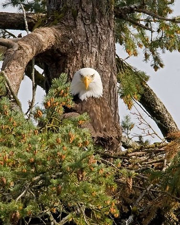 Squirrel and Bald Eagle in Nest