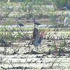 White Ibis <br /> Horseshoe Lake, Ill