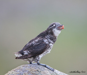 Auklet_Least TAB125DIII-29691-Edit