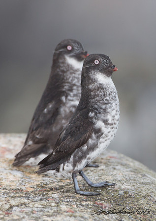 Auklet_Least TAB125DIII-26871-Edit