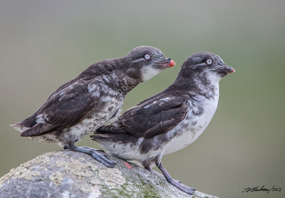 Auklet_Least TAB125DIII-29667-Edit