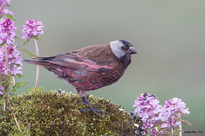 Gray-crowned Rosy-Finch Leucosticte tephrocotis