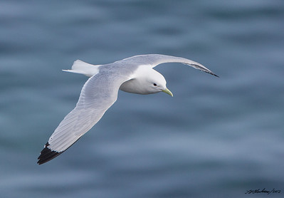 Kittiwake_Black-legged TAB125DIII-29767