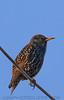 European Starling (b2241)