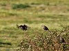 26 September 2011 Starling at North Hayling LNR.