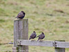 24 January 2011. Starlings at Farlington Marshes.  Copyright Peter Drury 2011