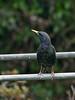 Starling (Sturnus vulgaris)<br /> Widley, Hampshire