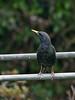 Starling (Sturnus vulgaris)<br /> Widley, Hampshire
