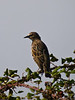 Starling (Sturnus vulgaris). Copyright 2009 Peter Drury<br /> Havant, Hampshire