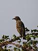 Starling (Sturnus vulgaris). Copyright 2009 Peter Drury<br /> Havant, Hampshire