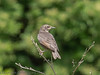 Juvenile Starling at West Hayling LNR.