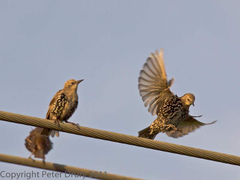 20 August 2011 Post-breeding flock of starlings.