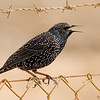 common starling זרזיר מצוי