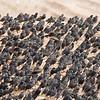 common starlings flock זרזירים מצויים במנוחה