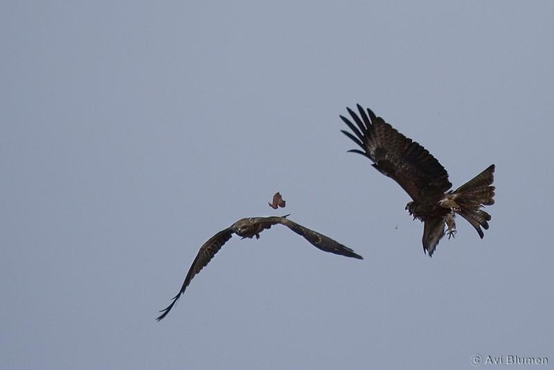 black kites air-fighting over a pice of chicken found at the dump<br /> שתי דיות שחורות בקרב אווירי על מנת עוף מהזבל