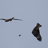 black kites air-fighting over a pice of chicken found at the dump<br /> שתי דיות שחורות בקרב אווירי על מנת עוף מהזבל