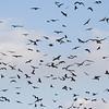 flock of black kites<br /> להקת דיות שחורות