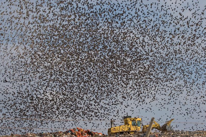"starlings cloud flock over ""Dudaim"" dump-yard<br /> ענן זרזירים מעל מזבלת דודאים"