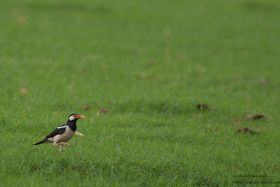 Asian Pied Starling - Record - Ambazari, Nagpur, India