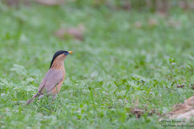 Brahminy Starling -  Nagpur, India