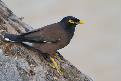 Common Myna - Maui, Hawaii, USA