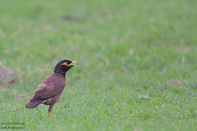 Common Myna -  Nagpur, India
