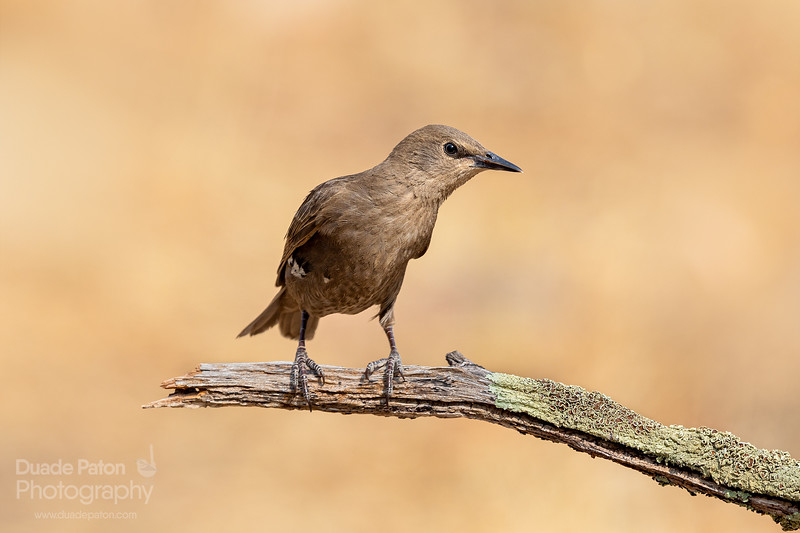 Common Starling (Introduced)