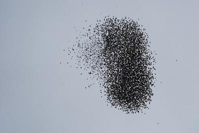 "European Starling ""Murmuration"" - San Rafael, CA, USA"
