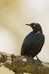 Rueppel's Glossy Starling - Lake Nakuru National Park, Kenya