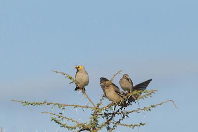 Wattled Starlings - Serengeti National Park, Tanzania