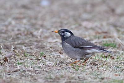 White-cheeked Starling - Tokyo, Japan