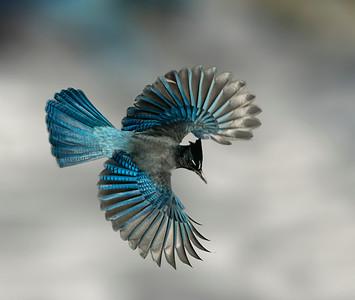Steller's Jay Wings Wide
