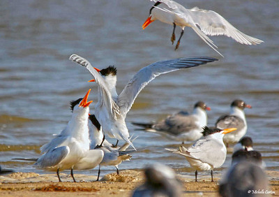 Royal Terns Breeding
