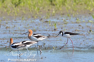 American Avocet, Black Necked Stilt