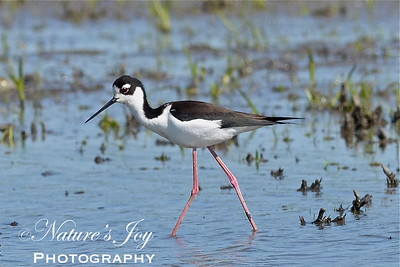 Black Necked Stilt April 23, 2012 Kidd Lake Marsh Fults, IL