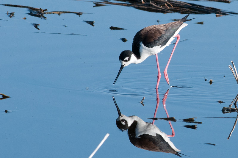Black-necked Stilt is a wading bird with long bright pink legs.