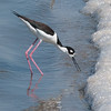 Black-necked Stilt at Salton Sea