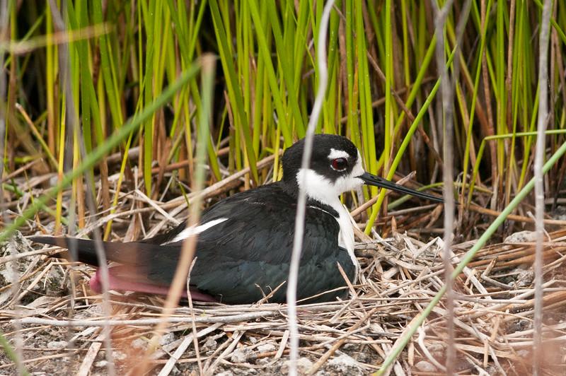 Blacknecked Stilt on nest at Malheur NWR, Oregon.