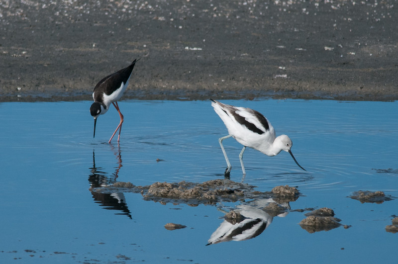 Black-necked Stilt & American Avocet
